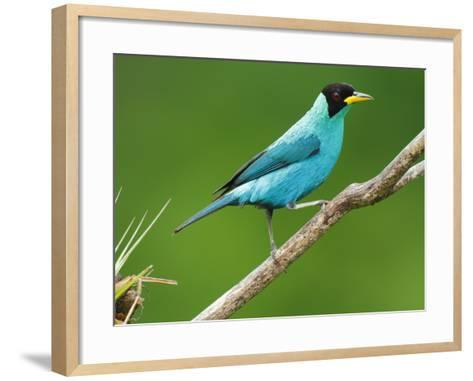 A Male Green Honeycreeper, Chlorophanes Spiza, Perched on a Branch-George Grall-Framed Art Print