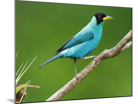 A Male Green Honeycreeper, Chlorophanes Spiza, Perched on a Branch-George Grall-Mounted Photographic Print