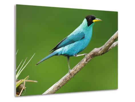 A Male Green Honeycreeper, Chlorophanes Spiza, Perched on a Branch-George Grall-Metal Print