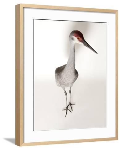 An Endangered Mississippi Sandhill Crane, Grus Canadensis Pulla-Joel Sartore-Framed Art Print