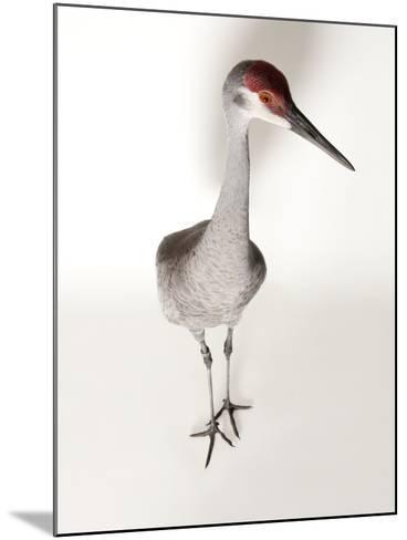 An Endangered Mississippi Sandhill Crane, Grus Canadensis Pulla-Joel Sartore-Mounted Photographic Print
