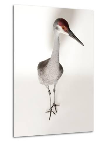 An Endangered Mississippi Sandhill Crane, Grus Canadensis Pulla-Joel Sartore-Metal Print