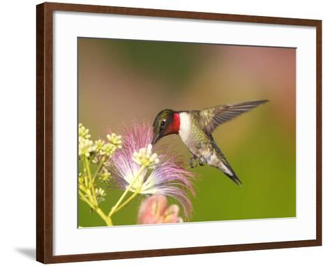 A Male Ruby-Throated Hummingbird Feeding on Mimosa Flowers-George Grall-Framed Art Print