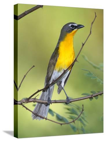 A Male Yellow-Breasted Chat, Icteria Virens, Is Perched in a Tree-George Grall-Stretched Canvas Print