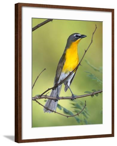 A Male Yellow-Breasted Chat, Icteria Virens, Is Perched in a Tree-George Grall-Framed Art Print