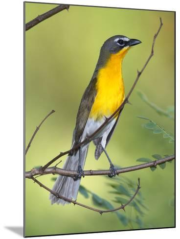 A Male Yellow-Breasted Chat, Icteria Virens, Is Perched in a Tree-George Grall-Mounted Photographic Print