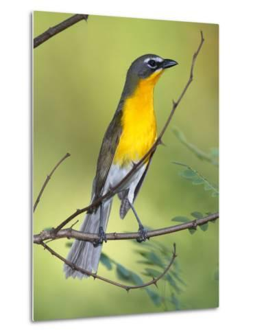 A Male Yellow-Breasted Chat, Icteria Virens, Is Perched in a Tree-George Grall-Metal Print