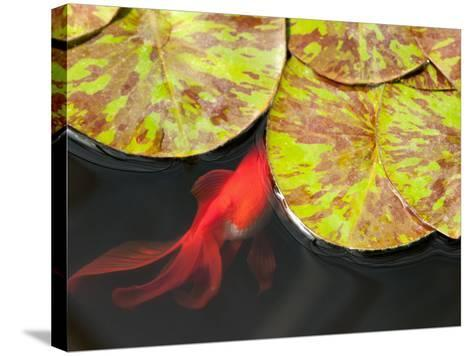 Star of Siam Water Lily Leaves, Nymphaea Species, and Goldfish-Darlyne A^ Murawski-Stretched Canvas Print
