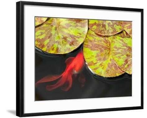 Star of Siam Water Lily Leaves, Nymphaea Species, and Goldfish-Darlyne A^ Murawski-Framed Art Print