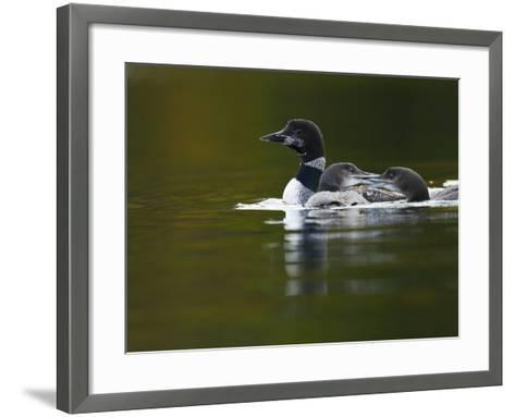 An Adult Loon with Young on No Name Lake-Michael Melford-Framed Art Print