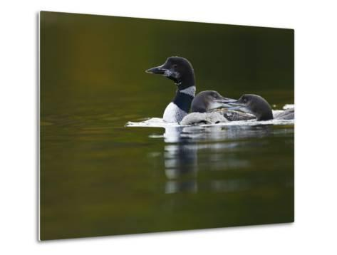 An Adult Loon with Young on No Name Lake-Michael Melford-Metal Print
