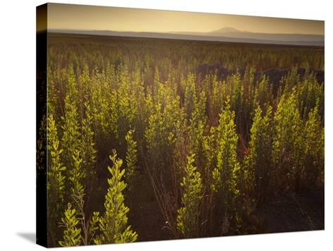 A Small Area of Green Vegetation in the Atacama Desert at Sunset-Alex Saberi-Stretched Canvas Print