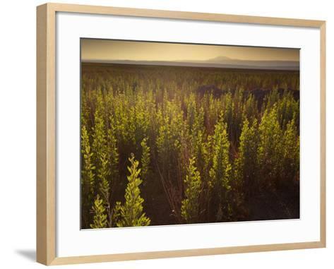 A Small Area of Green Vegetation in the Atacama Desert at Sunset-Alex Saberi-Framed Art Print