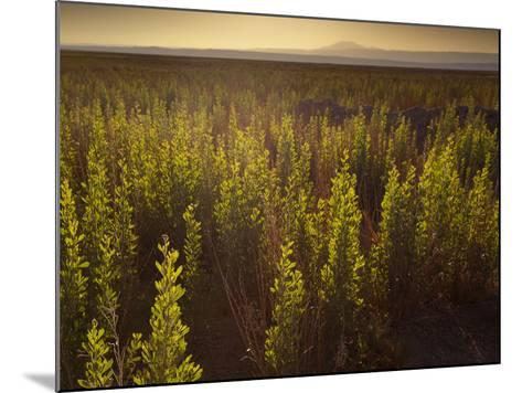A Small Area of Green Vegetation in the Atacama Desert at Sunset-Alex Saberi-Mounted Photographic Print