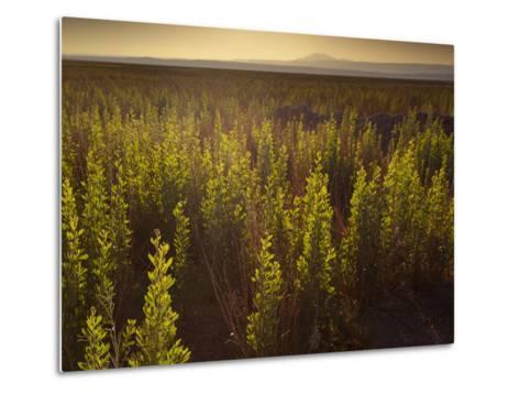 A Small Area of Green Vegetation in the Atacama Desert at Sunset-Alex Saberi-Metal Print