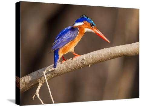 Malachite Kingfisher Perching on a Tree Branch-Roy Toft-Stretched Canvas Print