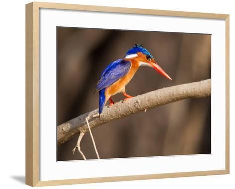 Malachite Kingfisher Perching on a Tree Branch-Roy Toft-Framed Art Print