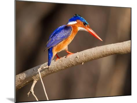 Malachite Kingfisher Perching on a Tree Branch-Roy Toft-Mounted Photographic Print