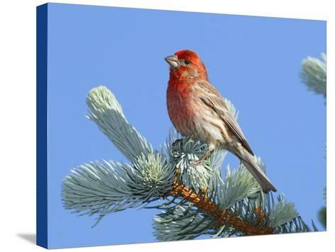 Portrait of a House Finch, Carpodacus Mexicanus, Perched in a Pine-George Grall-Stretched Canvas Print
