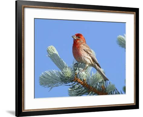 Portrait of a House Finch, Carpodacus Mexicanus, Perched in a Pine-George Grall-Framed Art Print