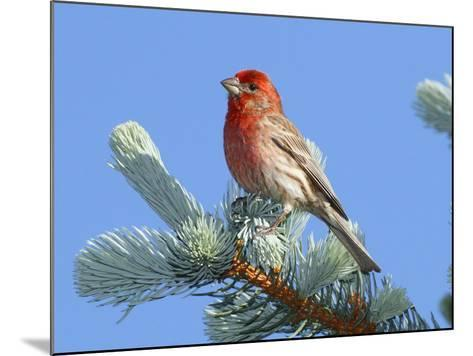 Portrait of a House Finch, Carpodacus Mexicanus, Perched in a Pine-George Grall-Mounted Photographic Print