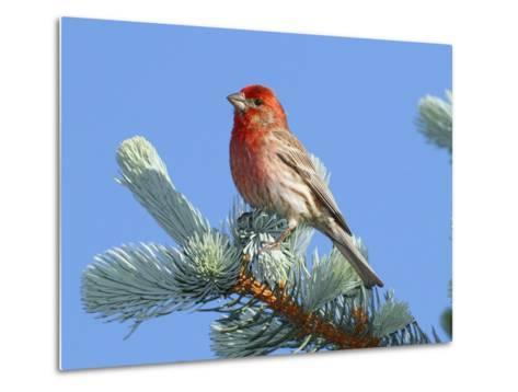 Portrait of a House Finch, Carpodacus Mexicanus, Perched in a Pine-George Grall-Metal Print