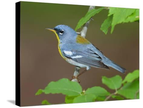 A Male Northern Parula, Parula Americana, Perched on a Tree Branch-George Grall-Stretched Canvas Print