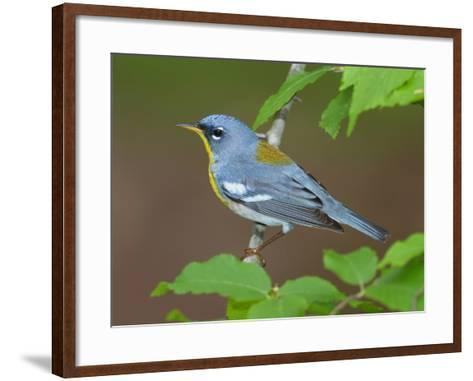 A Male Northern Parula, Parula Americana, Perched on a Tree Branch-George Grall-Framed Art Print