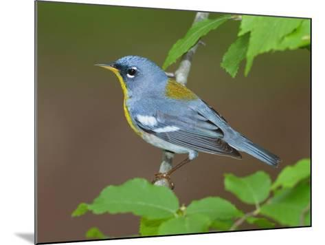 A Male Northern Parula, Parula Americana, Perched on a Tree Branch-George Grall-Mounted Photographic Print