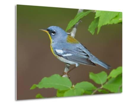 A Male Northern Parula, Parula Americana, Perched on a Tree Branch-George Grall-Metal Print
