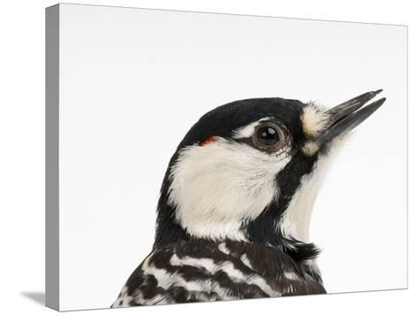 A Federally Endangered Red-Cockaded Woodpecker, Picoides Borealis-Joel Sartore-Stretched Canvas Print