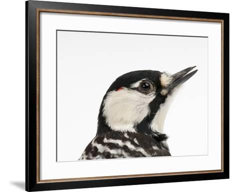A Federally Endangered Red-Cockaded Woodpecker, Picoides Borealis-Joel Sartore-Framed Art Print