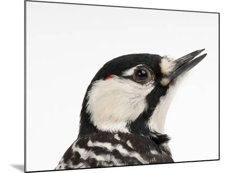 A Federally Endangered Red-Cockaded Woodpecker, Picoides Borealis-Joel Sartore-Mounted Photographic Print