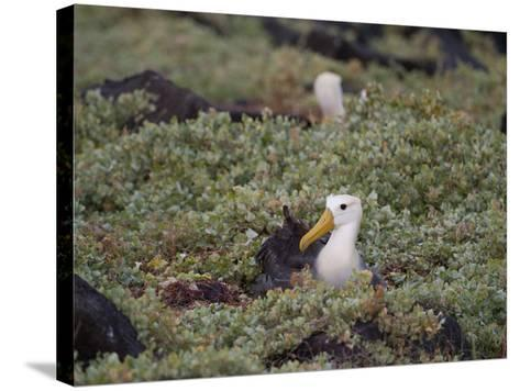 Two Critically Endangered Waved Albatrosses on Espanola Island-Joel Sartore-Stretched Canvas Print