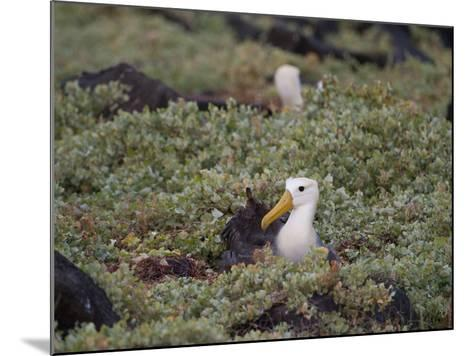 Two Critically Endangered Waved Albatrosses on Espanola Island-Joel Sartore-Mounted Photographic Print