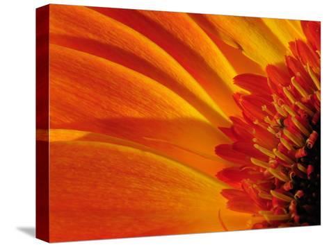 Close Up of a Orange Gerbera Daisy, Gerbera Species-Darlyne A^ Murawski-Stretched Canvas Print