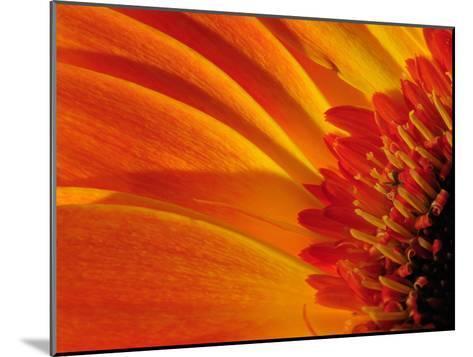 Close Up of a Orange Gerbera Daisy, Gerbera Species-Darlyne A^ Murawski-Mounted Photographic Print