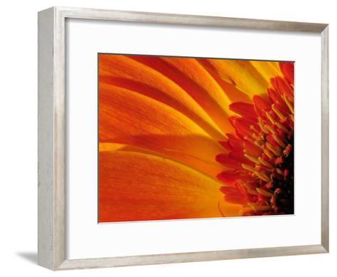 Close Up of a Orange Gerbera Daisy, Gerbera Species-Darlyne A^ Murawski-Framed Art Print