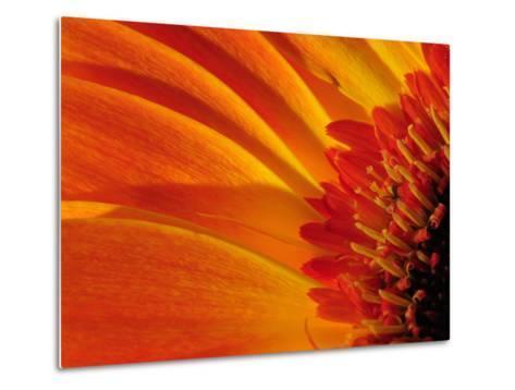 Close Up of a Orange Gerbera Daisy, Gerbera Species-Darlyne A^ Murawski-Metal Print