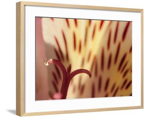 Close Up of a Water Drop on the Stigma of a Peruvian Lily-Darlyne A^ Murawski-Framed Art Print