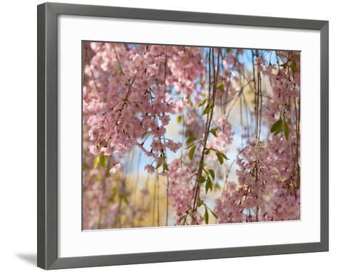 Weeping Higan Cherry Tree Branches, Prunus Subhirtella Var. Pendula-Darlyne A^ Murawski-Framed Art Print
