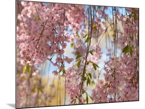 Weeping Higan Cherry Tree Branches, Prunus Subhirtella Var. Pendula-Darlyne A^ Murawski-Mounted Photographic Print