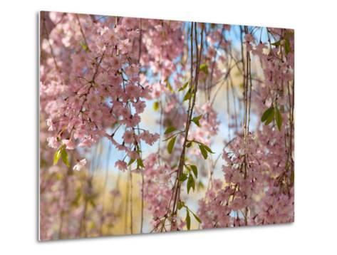 Weeping Higan Cherry Tree Branches, Prunus Subhirtella Var. Pendula-Darlyne A^ Murawski-Metal Print