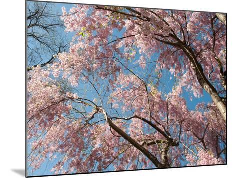 Canopy View of Weeping Cherry Trees, Prunus Subhirtella Var. Pendula-Darlyne A^ Murawski-Mounted Photographic Print