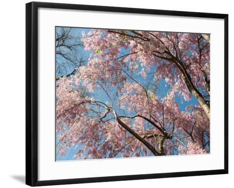 Canopy View of Weeping Cherry Trees, Prunus Subhirtella Var. Pendula-Darlyne A^ Murawski-Framed Art Print