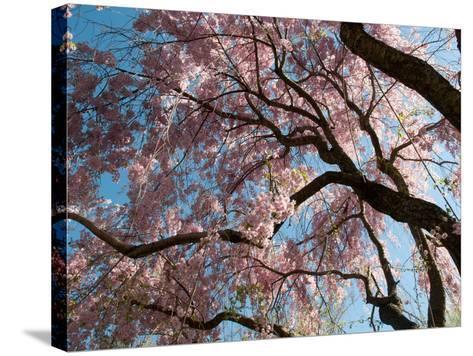 Canopy of Weeping Higan Cherry Trees, Prunus Subhirtella Var. Pendula-Darlyne A^ Murawski-Stretched Canvas Print