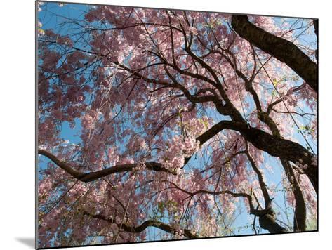 Canopy of Weeping Higan Cherry Trees, Prunus Subhirtella Var. Pendula-Darlyne A^ Murawski-Mounted Photographic Print