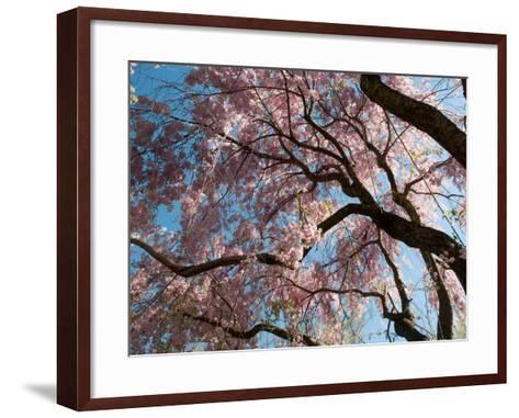 Canopy of Weeping Higan Cherry Trees, Prunus Subhirtella Var. Pendula-Darlyne A^ Murawski-Framed Art Print