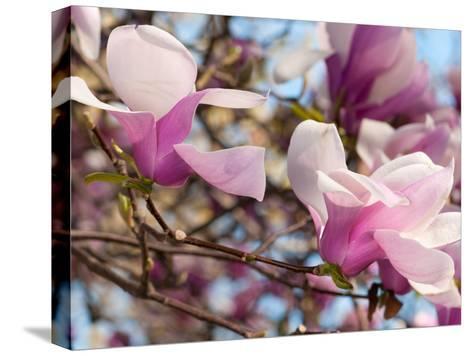 Close Up of Tulip Magnolia Flowers, Magnolia Liliflora, in Springtime-Darlyne A^ Murawski-Stretched Canvas Print