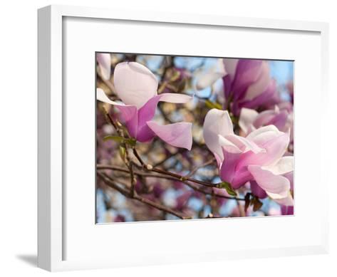 Close Up of Tulip Magnolia Flowers, Magnolia Liliflora, in Springtime-Darlyne A^ Murawski-Framed Art Print